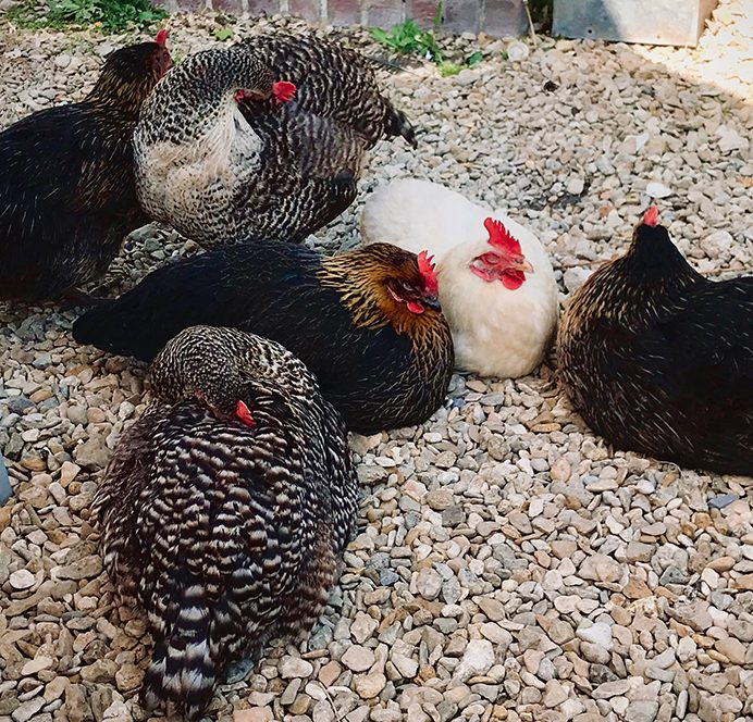 Contented hens